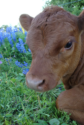 Calf in Blue Flowers
